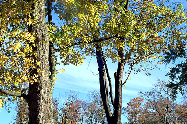 Fall Trees in Centenial Park, Batavia, NY