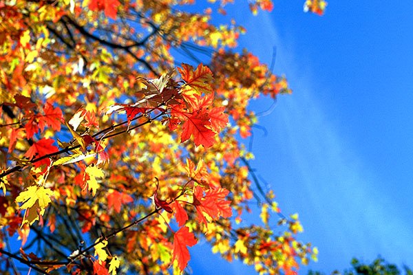 Fall Leaves, Blue Sky, Centennial Park, Batavia, NY