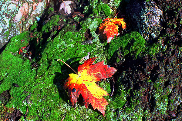 Fall Leaves on a Mossy Tree