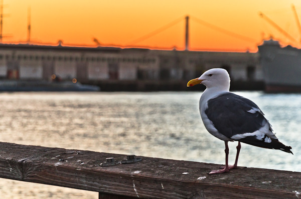 Seagull at Sunset, San Francisco Bay